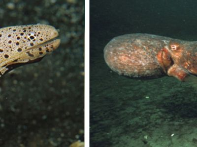 扇形海洋动物 胎生